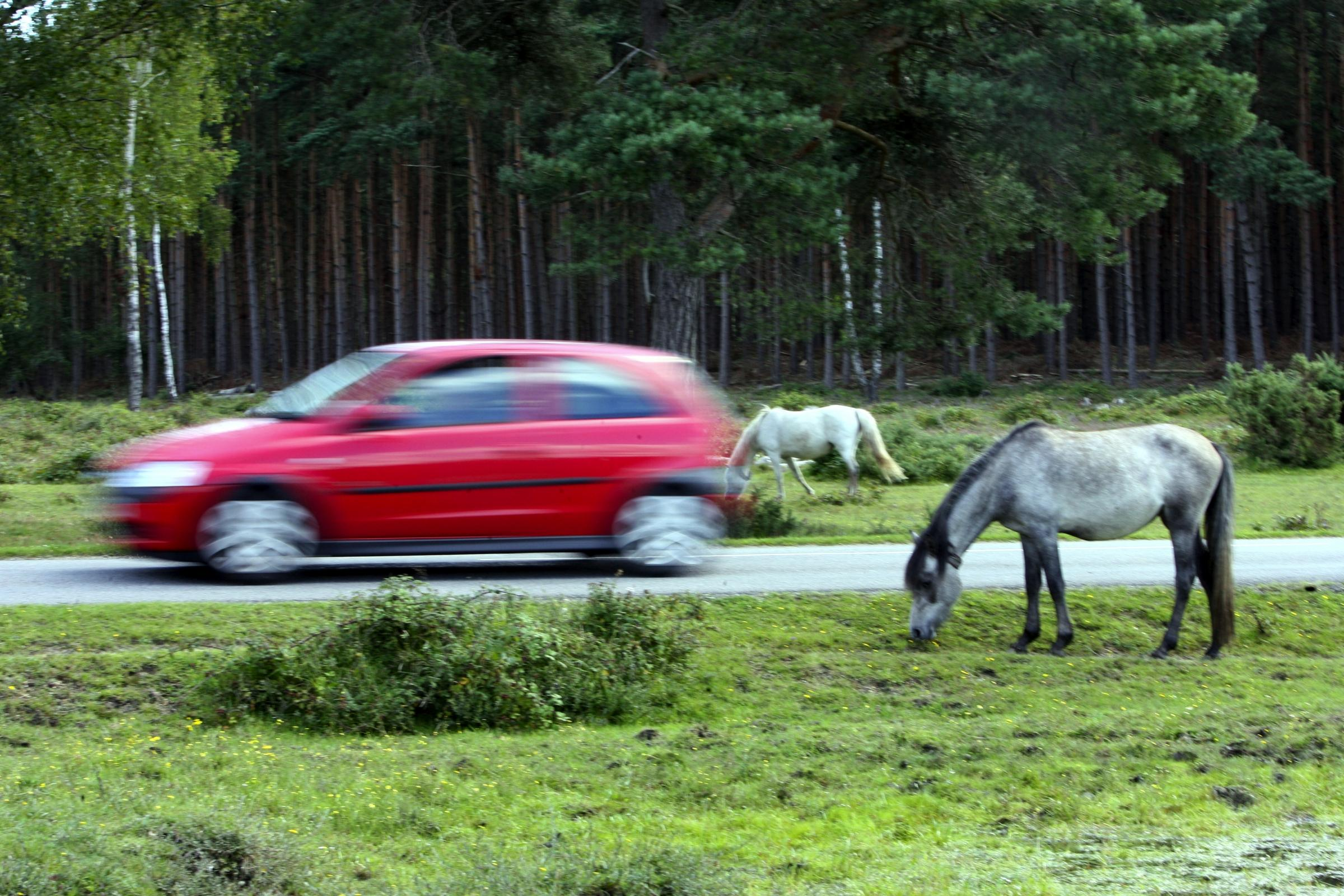 New Forest pony deaths story.....drivers speed through the forest..